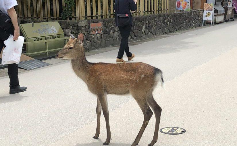 A lot of deer ins Miyajima island
